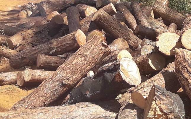 Lợi dụng dọn rừng, chặt hạ gần 400 cây thông xanh tươi ảnh 1