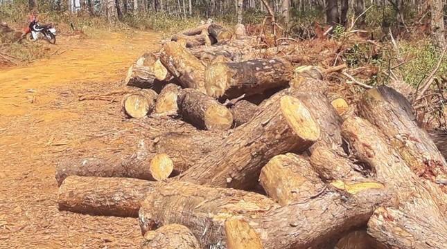 Lợi dụng dọn rừng, chặt hạ gần 400 cây thông xanh tươi ảnh 2