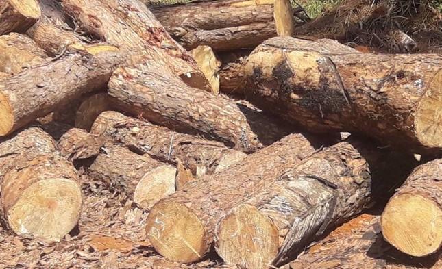 Lợi dụng dọn rừng, chặt hạ gần 400 cây thông xanh tươi ảnh 3
