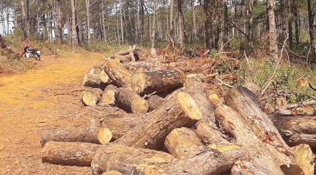 Lợi dụng dọn rừng, chặt hạ gần 400 cây thông xanh tươi ảnh 4