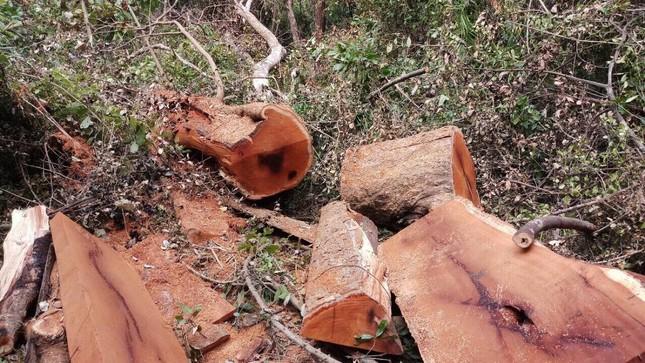 Khởi tố 16 đối tượng cưa hạ gỗ quý Vườn Quốc gia Yok Đôn ảnh 1