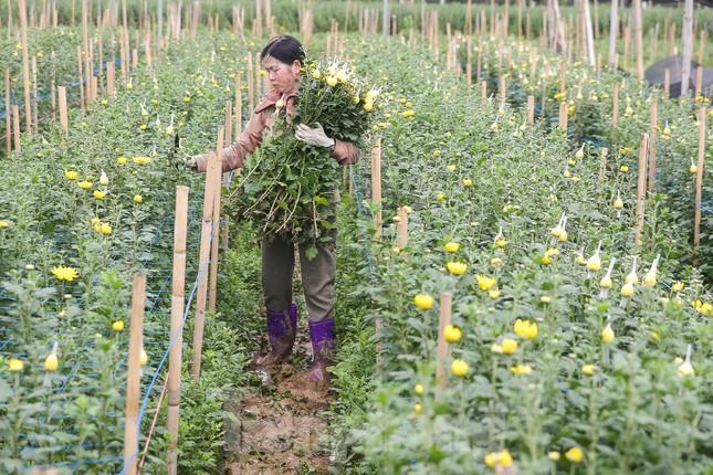 Rằm tháng Giêng, làng Tây Tựu lo 'sốt vó' vì hoa ế ẩm ảnh 2