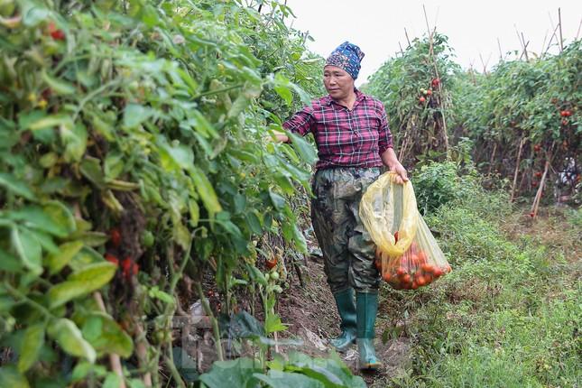 200 tấn rau củ quả 'ế', người dân Hà Nội đổ ngoài đồng ảnh 3