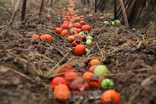 200 tấn rau củ quả 'ế', người dân Hà Nội đổ ngoài đồng ảnh 2