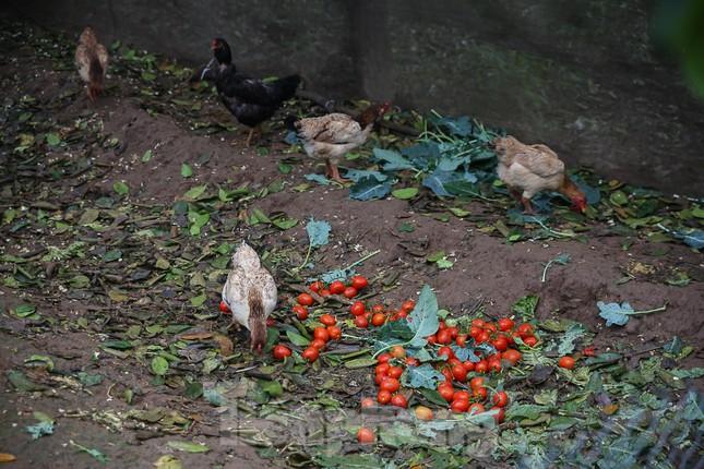 200 tấn rau củ quả 'ế', người dân Hà Nội đổ ngoài đồng ảnh 5