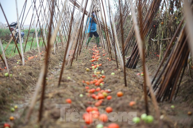 200 tấn rau củ quả 'ế', người dân Hà Nội đổ ngoài đồng ảnh 7