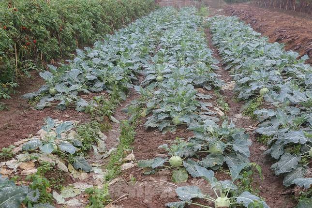 200 tấn rau củ quả 'ế', người dân Hà Nội đổ ngoài đồng ảnh 10