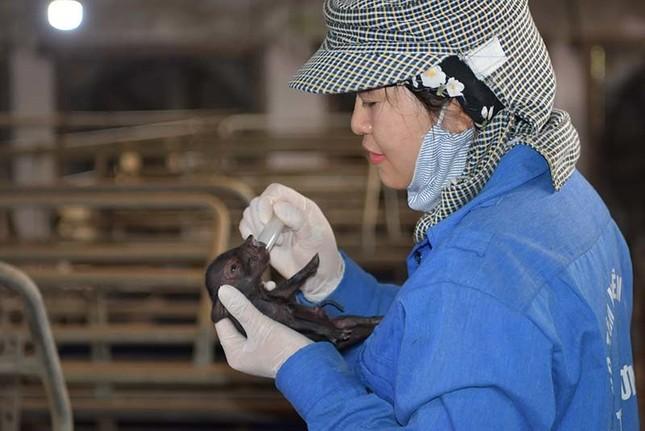 Lần đầu tiên, Việt Nam nhân bản thành công lợn quý hiếm ảnh 1
