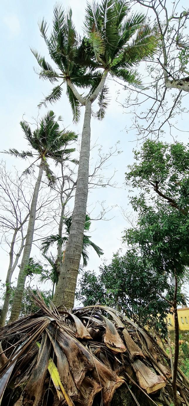 Cây dừa hai ngọn và ẩn ý một vùng đất ảnh 1
