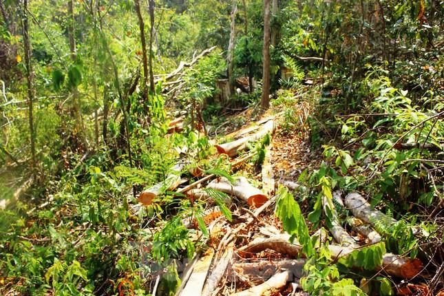 Bức tử rừng giáp ranh Gia Lai-Đắk Lắk: Điều tra, xử lý phá rừng Tây Nguyên ảnh 1