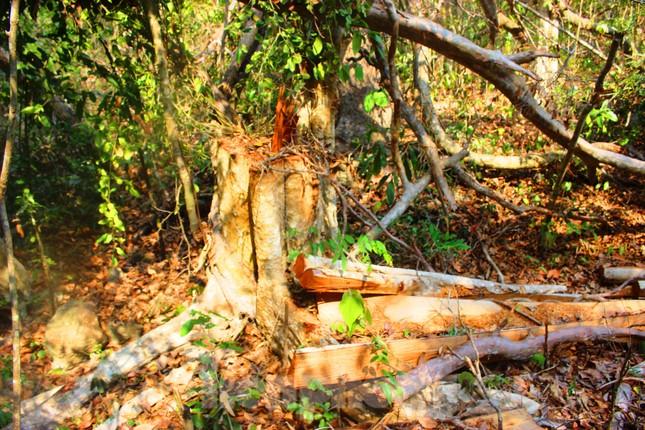 Bức tử rừng giáp ranh Gia Lai-Đắk Lắk: Điều tra, xử lý phá rừng Tây Nguyên ảnh 3