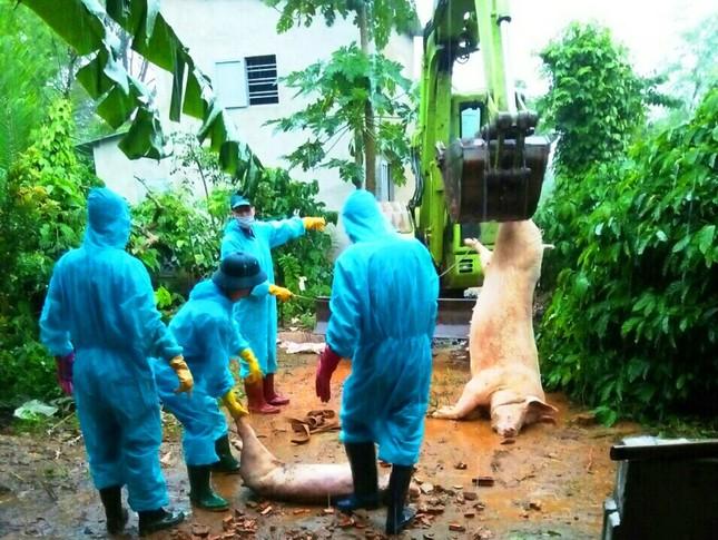 Đắk Lắk: Tái phát dịch tả lợn châu Phi ảnh 2