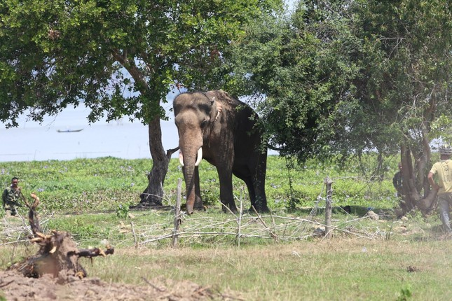 Vụ voi nhà quật chết người: Chấn chỉnh dịch vụ cưỡi voi ảnh 1