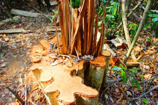Mật phục truy quét lâm tặc tại điểm nóng phá rừng ảnh 1