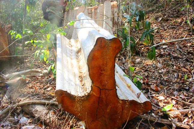 Mật phục truy quét lâm tặc tại điểm nóng phá rừng ảnh 2