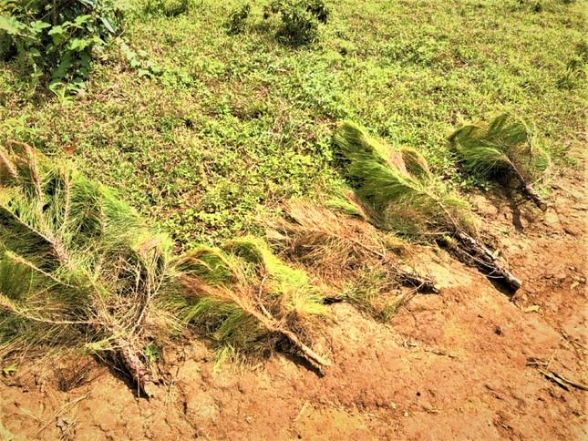 Đắk Nông: Vì sao nhiều vụ xâm hại rừng thông phải đình chỉ điều tra? ảnh 1