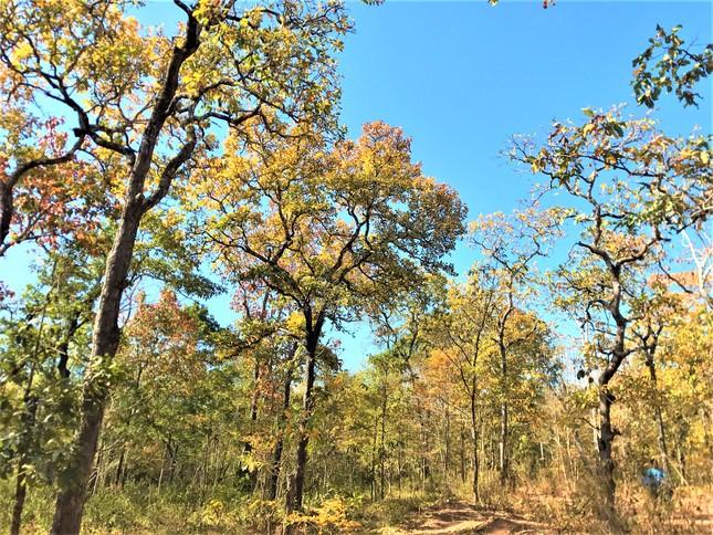 Sững sờ chứng kiến rừng Tây Nguyên chuyển sắc 'gọi' xuân về ảnh 1