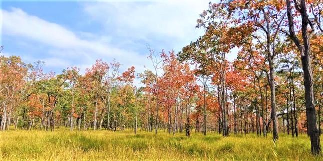 Sững sờ chứng kiến rừng Tây Nguyên chuyển sắc 'gọi' xuân về ảnh 3