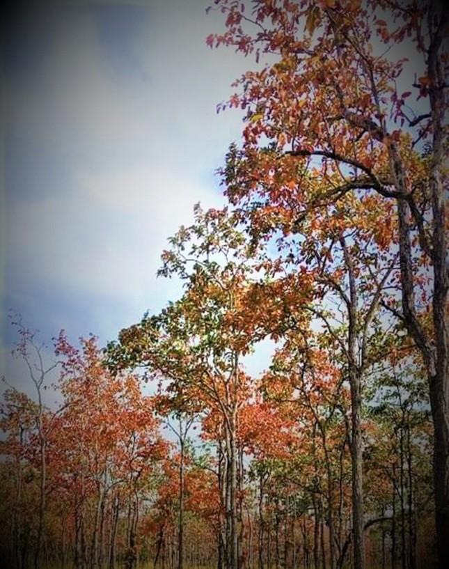 Sững sờ chứng kiến rừng Tây Nguyên chuyển sắc 'gọi' xuân về ảnh 5