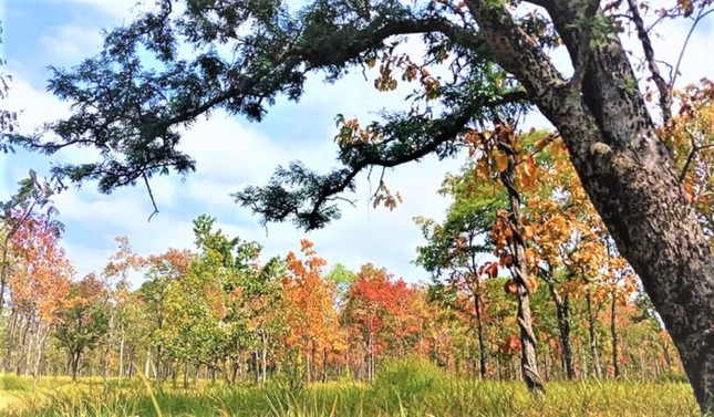 Sững sờ chứng kiến rừng Tây Nguyên chuyển sắc 'gọi' xuân về ảnh 4