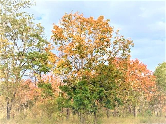 Sững sờ chứng kiến rừng Tây Nguyên chuyển sắc 'gọi' xuân về ảnh 6