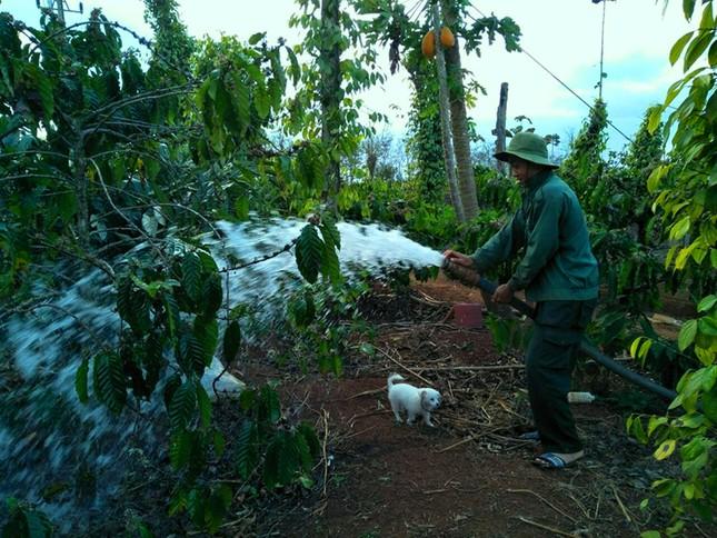 Nông dân Đắk Lắk quên Tết, hối hả tưới cà phê ảnh 2