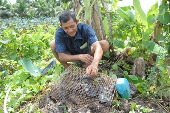 Ngoài ra nông dân còn dùng cách đốt lá cây khô trên bờ cao để chuột chạy vào hang để bắt số lượng nhiều
