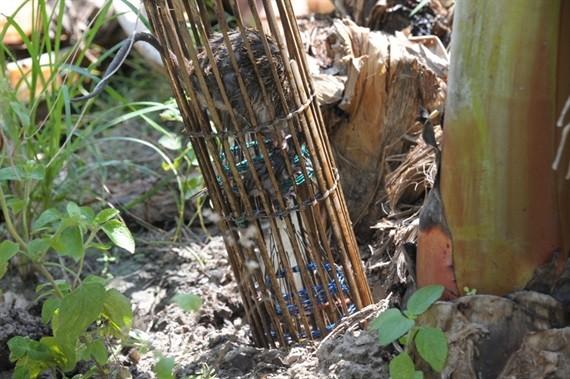 Độc đáo nghề 'thổi nước' vào hang bắt chuột đồng ở miền Tây ảnh 8