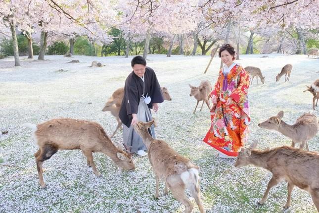 Lạc vào xứ sở thần tiên trong vườn hoa anh đào ở Nhật Bản ảnh 2