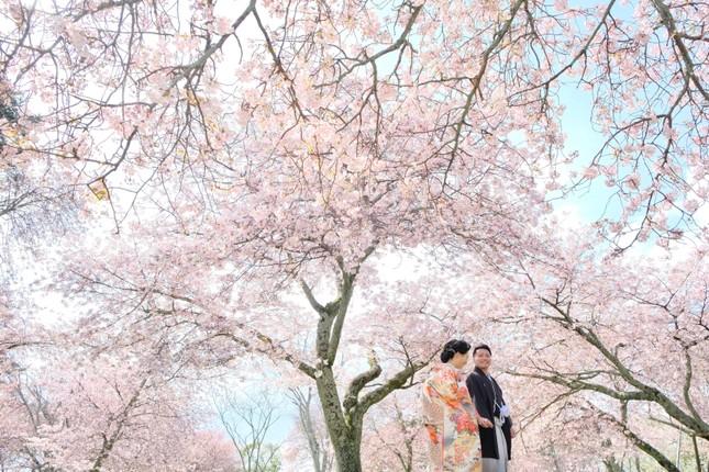 Lạc vào xứ sở thần tiên trong vườn hoa anh đào ở Nhật Bản ảnh 5