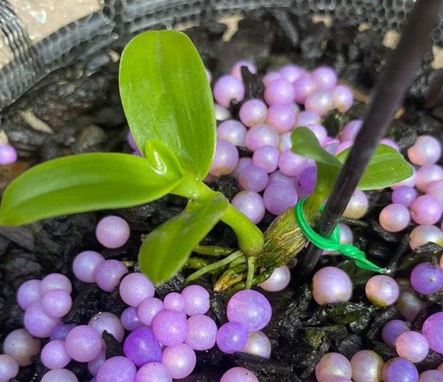 4 mầm lan như cọng rau, bán được tiền tỷ có phải đóng thuế? ảnh 2
