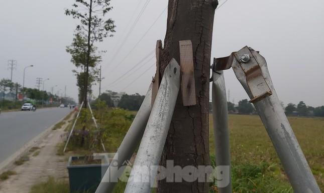 Huyện Thạch Thất nói gì về hàng ngàn cọc chống cây xanh mới làm đã gãy đổ? ảnh 2