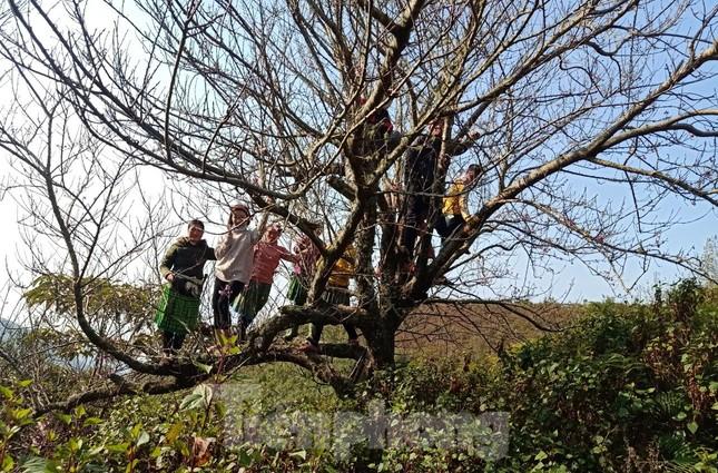 Dân buôn bỏ cuộc, người vùng cao lo mất Tết vì đào rừng khó về xuôi ảnh 2