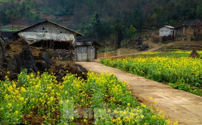 Hoa cải nhuộm vàng núi đá Hà Giang ảnh 1