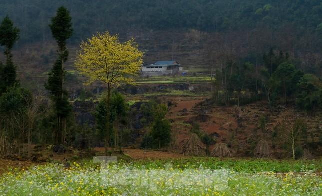 Hoa cải nhuộm vàng núi đá Hà Giang ảnh 5
