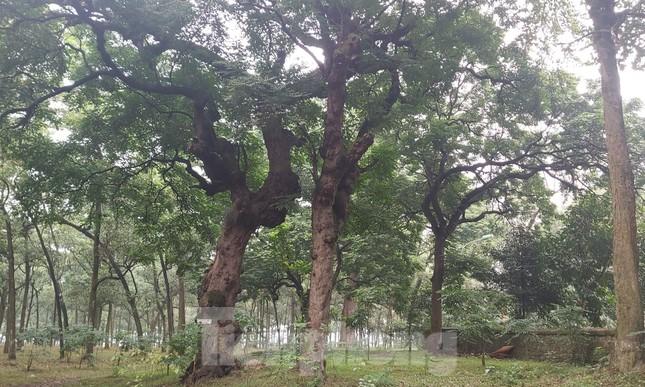 Khám phá rừng lim độc đáo, hơn nghìn năm tuổi tại Hà Nội ảnh 2