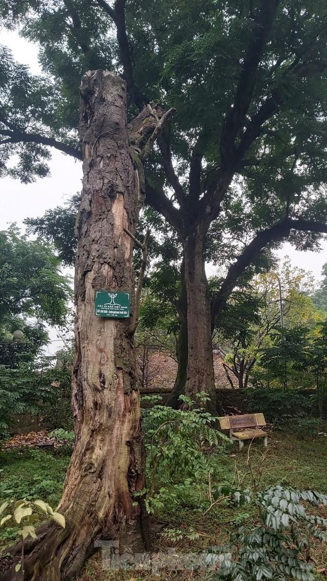 Khám phá rừng lim độc đáo, hơn nghìn năm tuổi tại Hà Nội ảnh 5