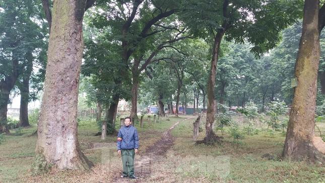 Khám phá rừng lim độc đáo, hơn nghìn năm tuổi tại Hà Nội ảnh 4