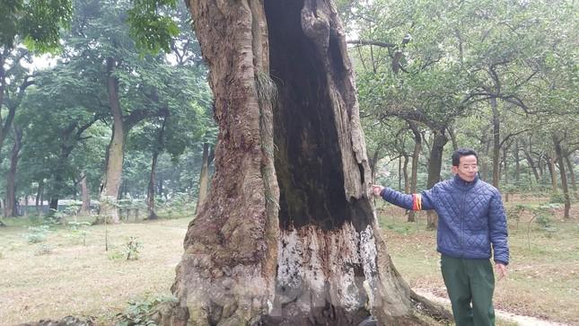 Khám phá rừng lim độc đáo, hơn nghìn năm tuổi tại Hà Nội ảnh 7