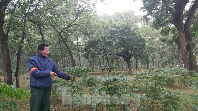 Khám phá rừng lim độc đáo, hơn nghìn năm tuổi tại Hà Nội ảnh 10