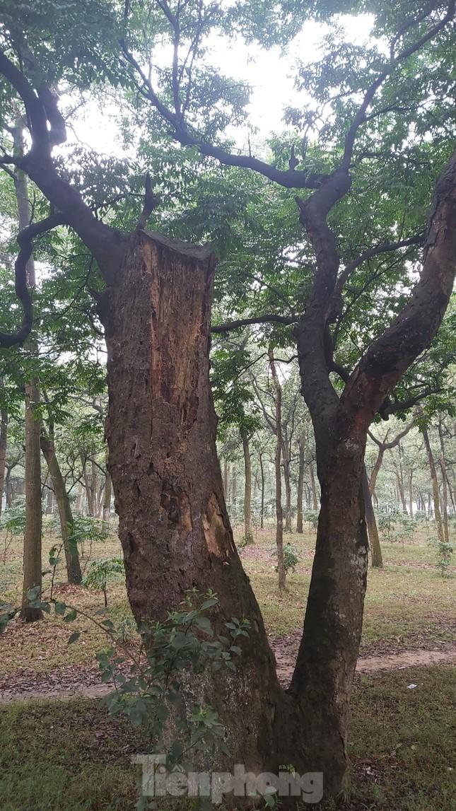 Khám phá rừng lim độc đáo, hơn nghìn năm tuổi tại Hà Nội ảnh 9