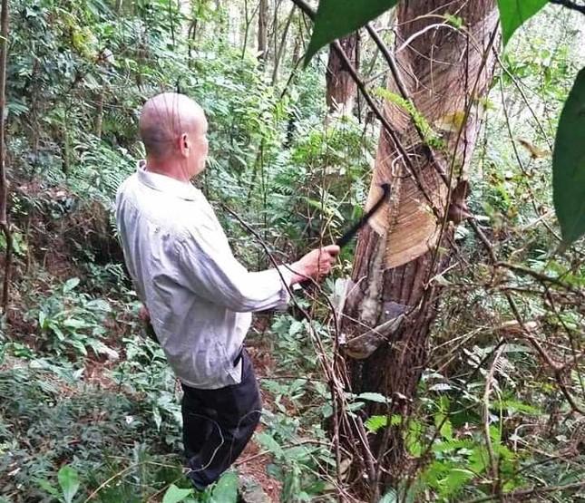 Hàng nghìn cây thông vườn quốc gia Tam Đảo bị cạo vỏ trộm ảnh 1