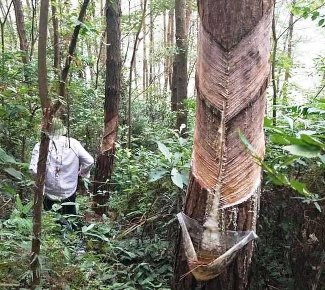 Hàng nghìn cây thông vườn quốc gia Tam Đảo bị cạo vỏ trộm ảnh 3