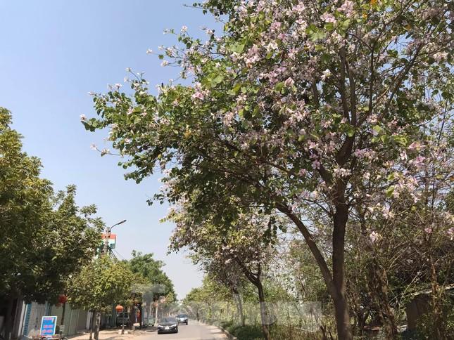 Đường hoa ban trắng đẹp mê mẩn ở ngoại thành Hà Nội ảnh 8