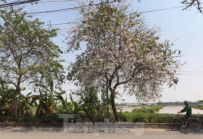 Đường hoa ban trắng đẹp mê mẩn ở ngoại thành Hà Nội ảnh 3