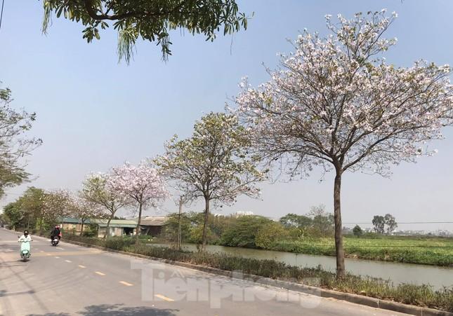 Đường hoa ban trắng đẹp mê mẩn ở ngoại thành Hà Nội ảnh 7