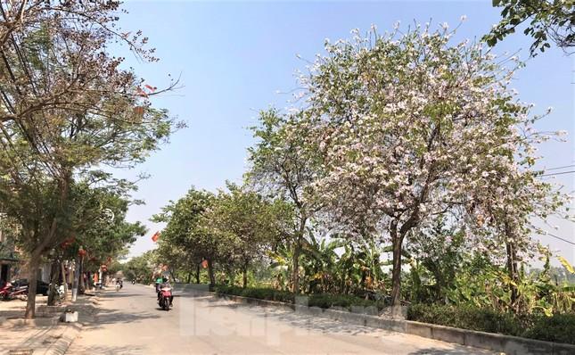 Đường hoa ban trắng đẹp mê mẩn ở ngoại thành Hà Nội ảnh 2