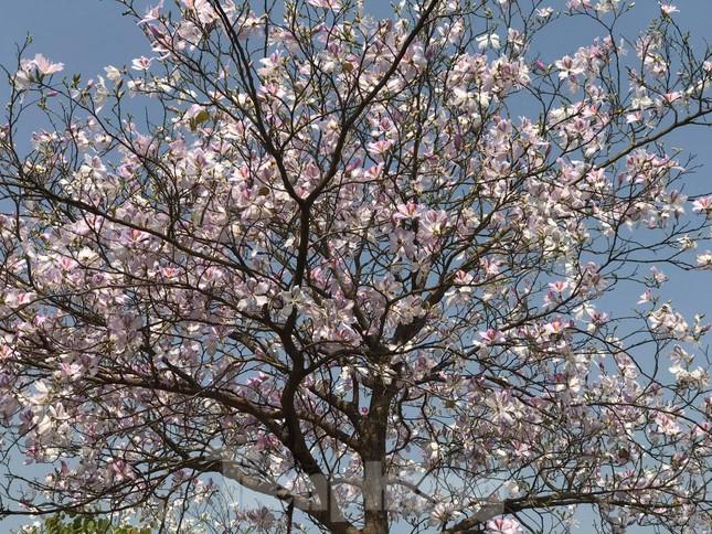 Đường hoa ban trắng đẹp mê mẩn ở ngoại thành Hà Nội ảnh 6