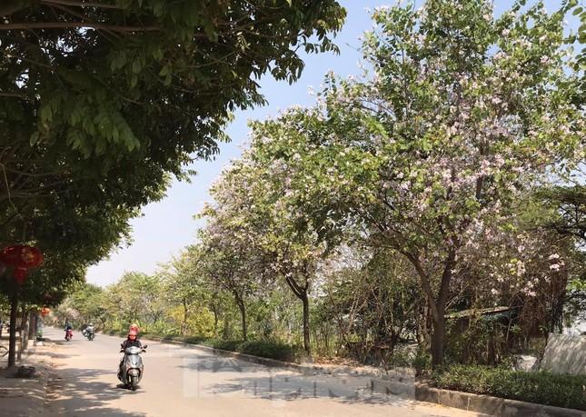 Đường hoa ban trắng đẹp mê mẩn ở ngoại thành Hà Nội ảnh 1