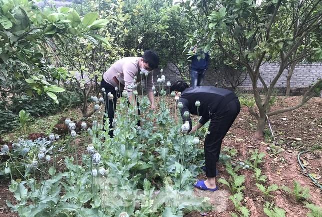 Lén lút trồng cây thuốc phiện trong vườn sẽ bị xử lý thế nào? ảnh 1